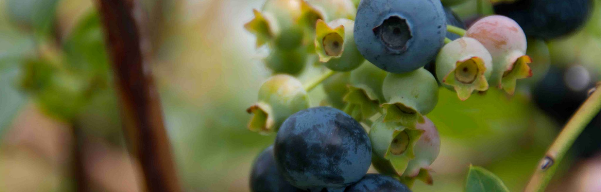 Blueberries-PageSlider