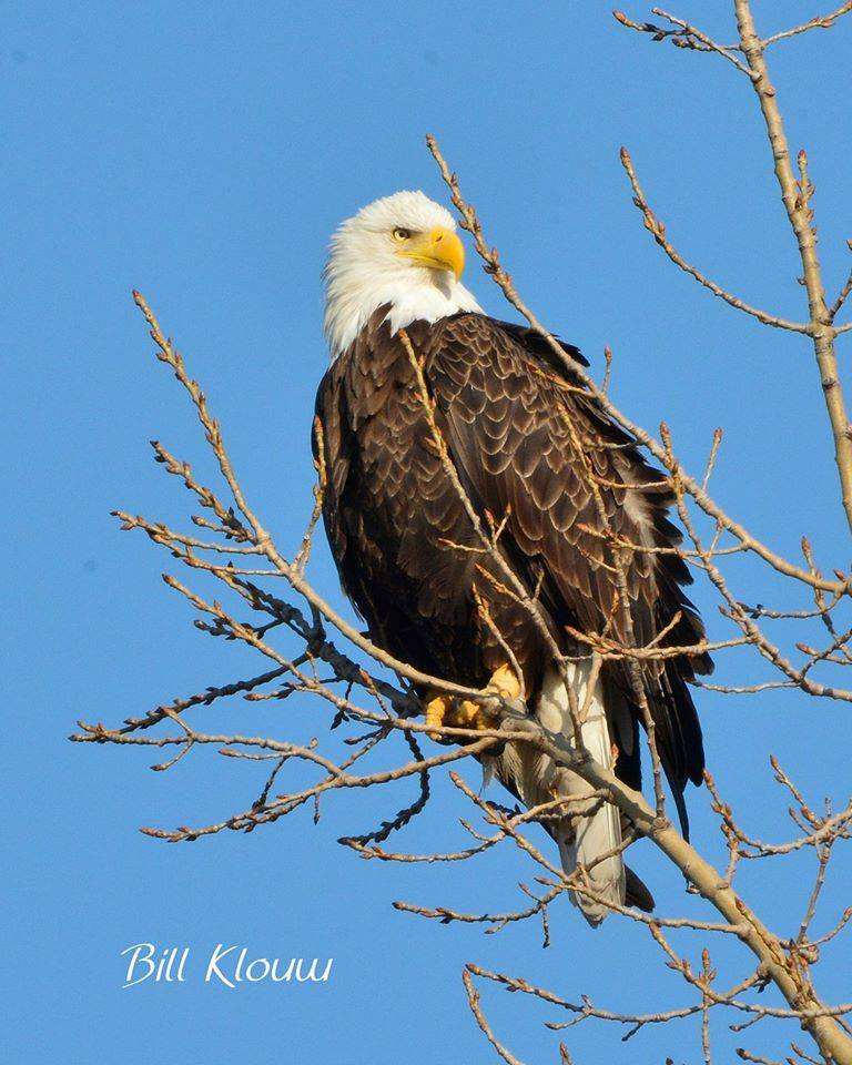 Bald Eagle Grand Haven. Photo Credit: Bill Klouw