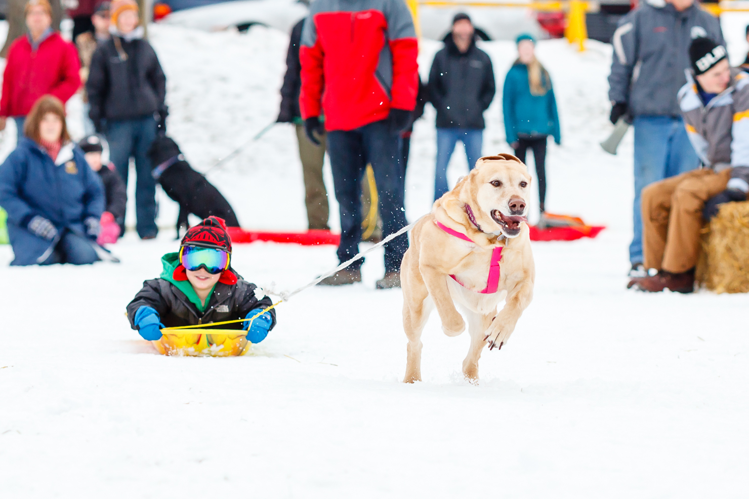 Grand Haven Winterfest Family Dog Pull - Photo: Randy Riksen Photography